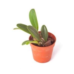Bulbophyllum-sikkimense