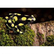 Dendrobates-auratus-capurgana-(2)