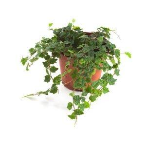 Ficus-quercifolia