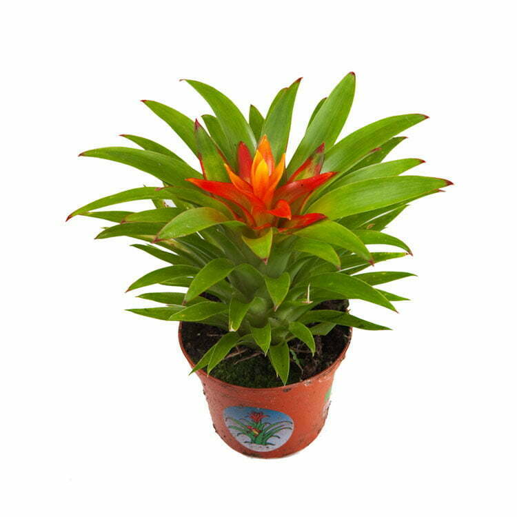 Guzmania Theresa Dutch Rana