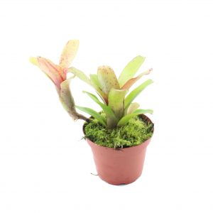 neoregelia-narciss