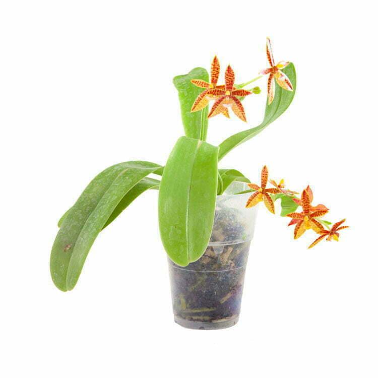 phalaenopsis cornu cervii dutch rana. Black Bedroom Furniture Sets. Home Design Ideas