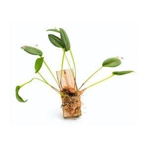 Pleurothallis-gratiosa