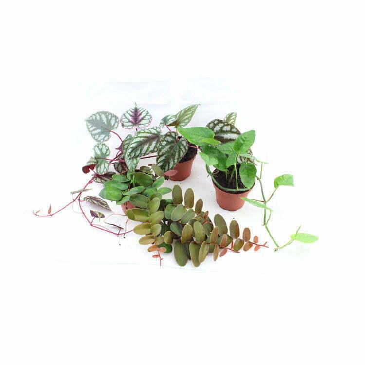 Klim- en hangplanten