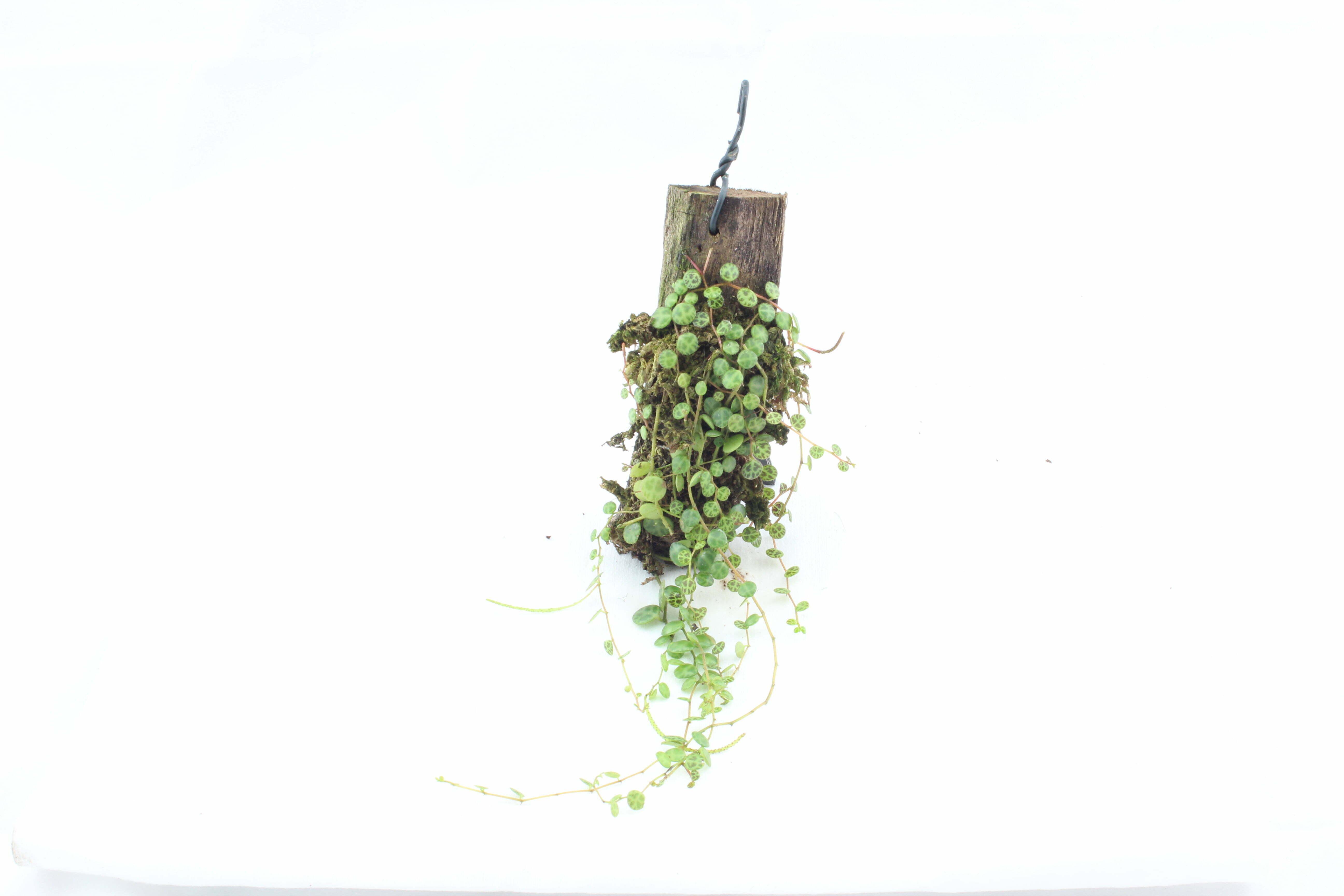 peperomia prostrata