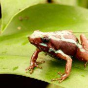 epipedobates-tricolor-hoogland-1