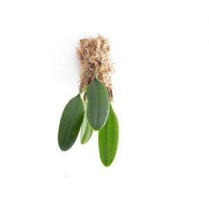 Bulbophyllum makoyanum