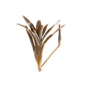 Neoregelia ampullacea var. rubra