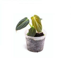 Philodendron melanocrysum