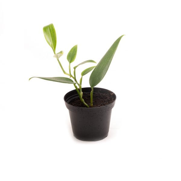 Philodendron spec colombia