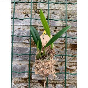 Bulbophyllum saltatorium