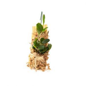 bulbophyllum sessile
