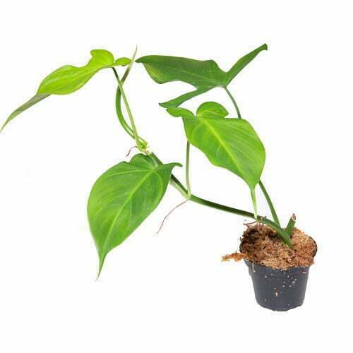 Philodendron camposportoanum