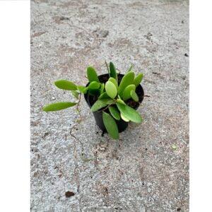 Pyrrosia piloselloides pot