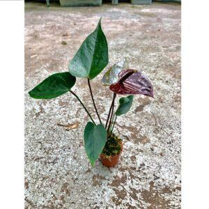Anthurium-andreanum-chocolate