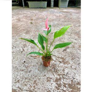 """Anthurium andreanum """"Mini Pink"""""""